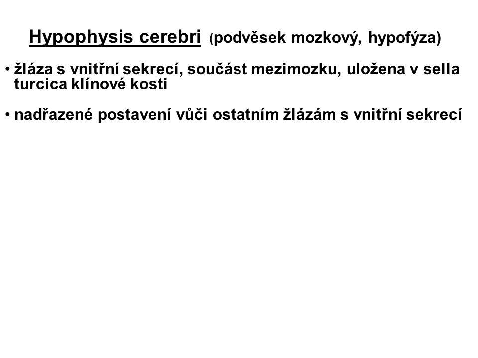Hypophysis cerebri ( podvěsek mozkový, hypofýza) žláza s vnitřní sekrecí, součást mezimozku, uložena v sella turcica klínové kosti nadřazené postavení vůči ostatním žlázám s vnitřní sekrecí
