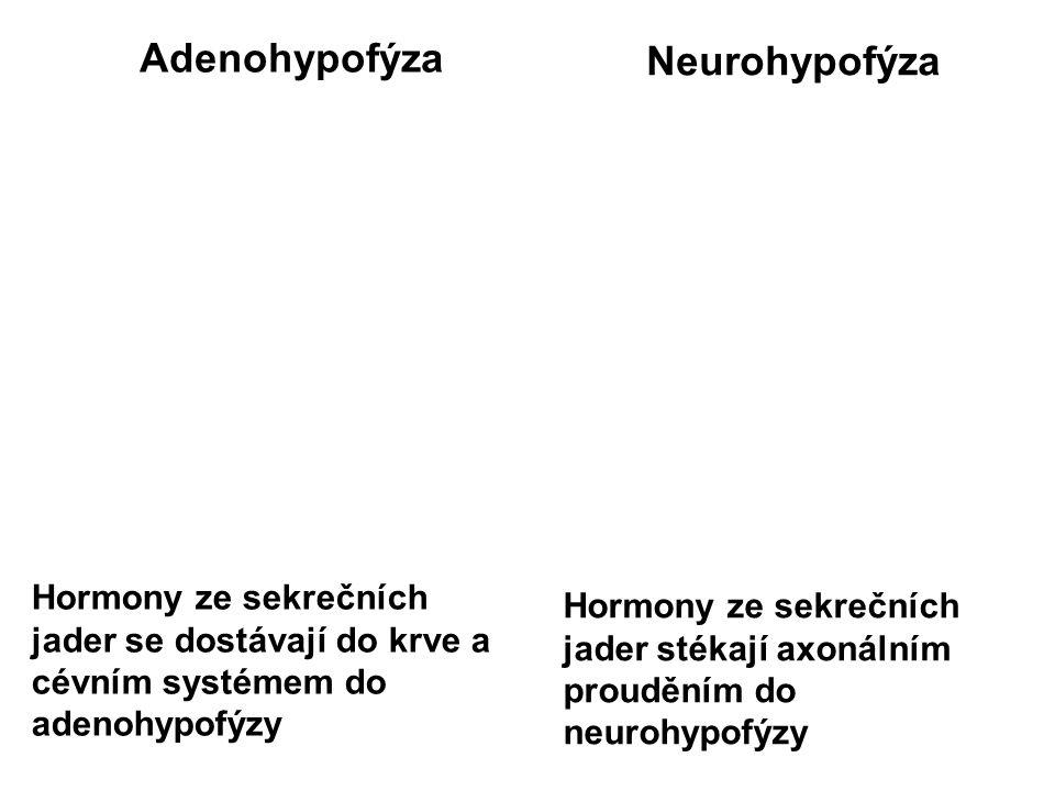 Adenohypofýza Neurohypofýza Hormony ze sekrečních jader se dostávají do krve a cévním systémem do adenohypofýzy Hormony ze sekrečních jader stékají axonálním prouděním do neurohypofýzy