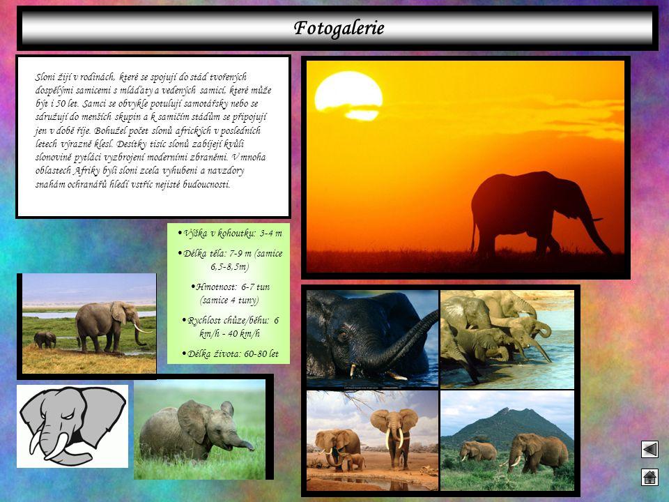 Sloni žijí v rodinách, které se spojují do stád tvořených dospělými samicemi s mláďaty a vedených samicí, které může být i 50 let. Samci se obvykle po