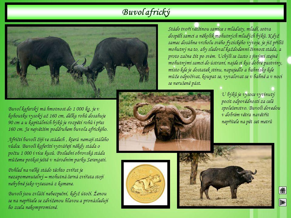 Buvol africký Buvol kaferský má hmotnost do 1 000 kg, je v kohoutku vysoký až 160 cm, délka rohů dosahuje 90 cm a u kapitálních býků je rozpětí rohů i