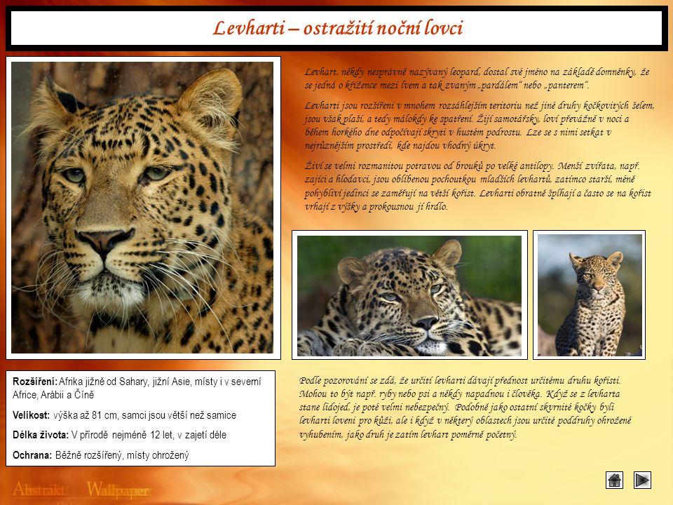 Levharti – ostražití noční lovci Levhart, někdy nesprávně nazývaný leopard, dostal své jméno na základě domněnky, že se jedná o křížence mezi lvem a t