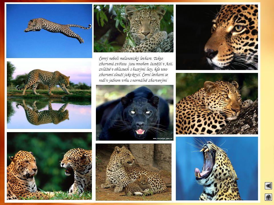 Černý neboli melanotický levhart. Takto zbarvená zvířata jsou mnohem častější v Asii, zvláště v oblastech s hustými lesy, kde toto zbarvení slouží jak