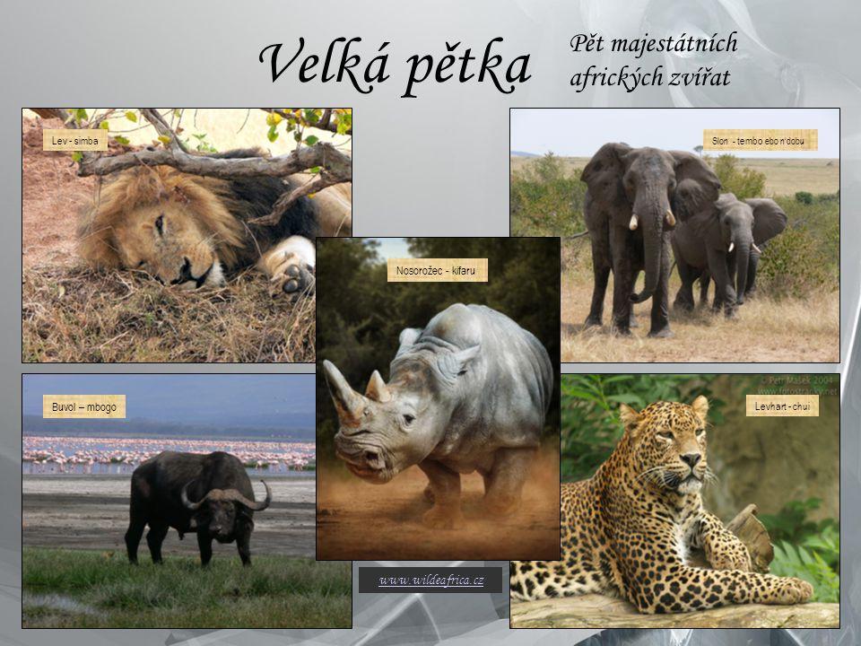 Velká pětka Pět majestátních afrických zvířat Buvol – mbogo Slon - tembo ebo n'dobu Levhart - chuiLev - simba Nosorožec - kifaru www.wildeafrica.cz