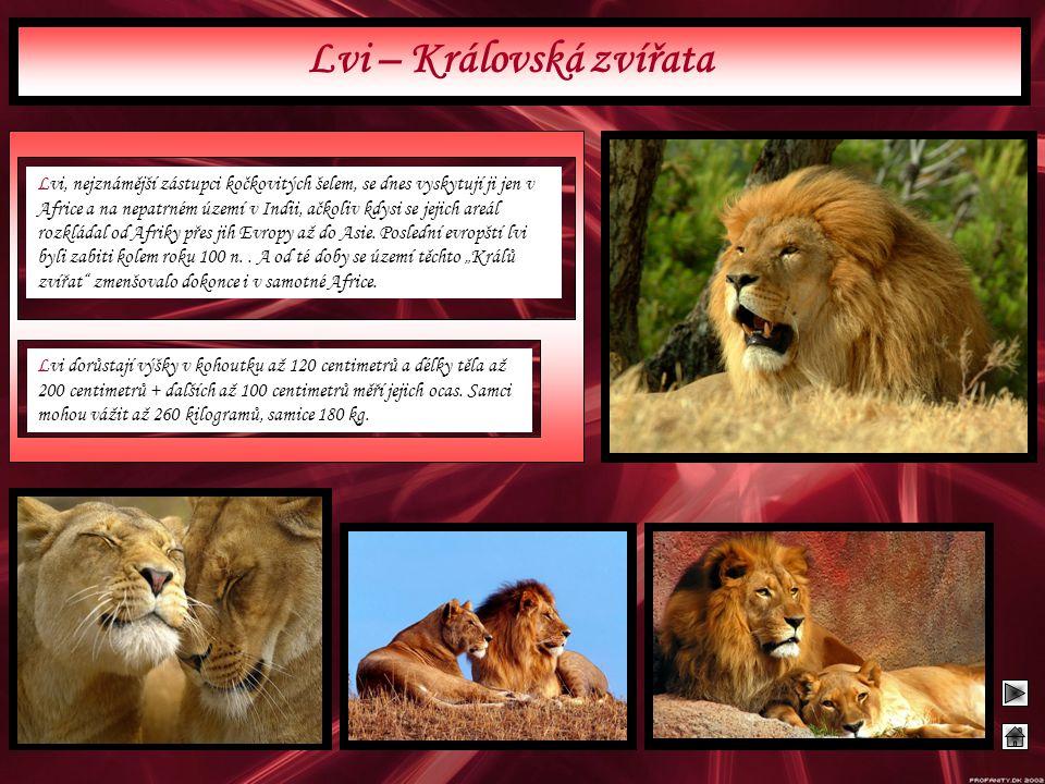 Lvi, nejznámější zástupci kočkovitých šelem, se dnes vyskytují ji jen v Africe a na nepatrném území v Indii, ačkoliv kdysi se jejich areál rozkládal o