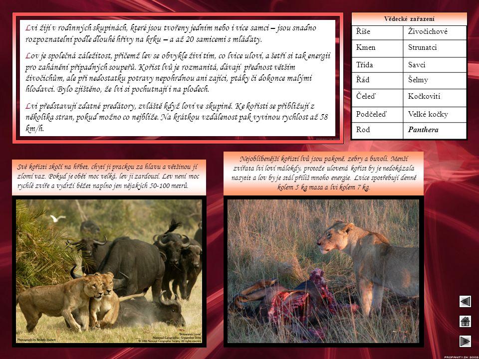 Lvi žijí v rodinných skupinách, které jsou tvořeny jedním nebo i více samci – jsou snadno rozpoznatelní podle dlouhé hřívy na krku – a až 20 samicemi