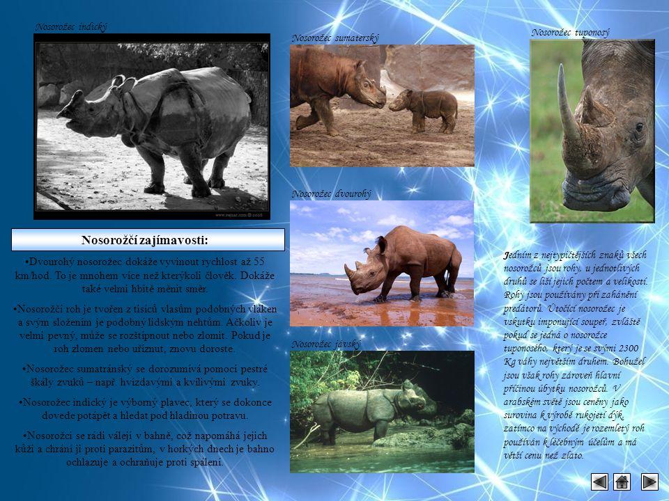 Nosorožec indický Nosorožčí zajímavosti: Dvourohý nosorožec dokáže vyvinout rychlost až 55 km/hod. To je mnohem více než kterýkoli člověk. Dokáže také