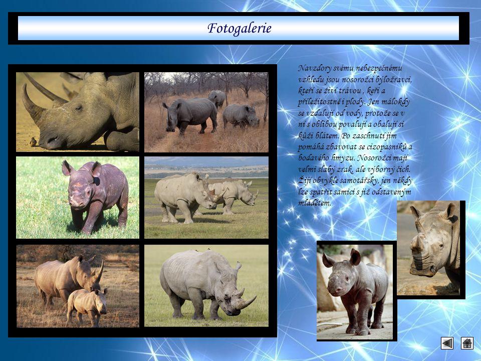 Navzdory svému nebezpečnému vzhledu jsou nosorožci býložravci, kteří se živí trávou, keři a příležitostně i plody. Jen málokdy se vzdalují od vody, pr