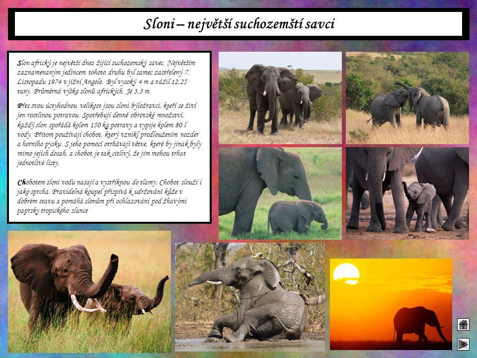 Sloni – největší suchozemští savci Slon africký je největší dnes žijící suchozemský savec. Největším zaznamenaným jedincem tohoto druhu byl samec zast