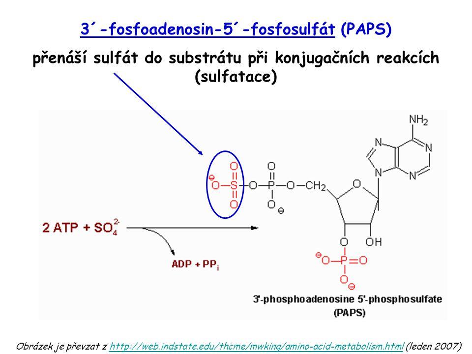 Obrázek je převzat z http://web.indstate.edu/thcme/mwking/amino-acid-metabolism.html (leden 2007)http://web.indstate.edu/thcme/mwking/amino-acid-metabolism.html 3´-fosfoadenosin-5´-fosfosulfát (PAPS) přenáší sulfát do substrátu při konjugačních reakcích (sulfatace)