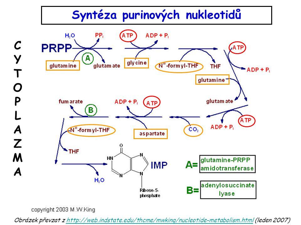 Obrázek převzat z http://web.indstate.edu/thcme/mwking/nucleotide-metabolism.html (leden 2007)http://web.indstate.edu/thcme/mwking/nucleotide-metabolism.html Syntéza purinových nukleotidů CYTOPLAZMACYTOPLAZMA