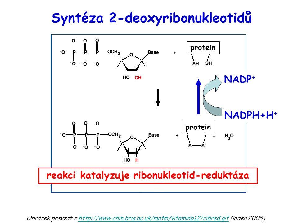 Obrázek převzat z http://www.chm.bris.ac.uk/motm/vitaminb12/ribred.gif (leden 2008)http://www.chm.bris.ac.uk/motm/vitaminb12/ribred.gif Syntéza 2-deoxyribonukleotidů reakci katalyzuje ribonukleotid-reduktáza NADP + NADPH+H + protein