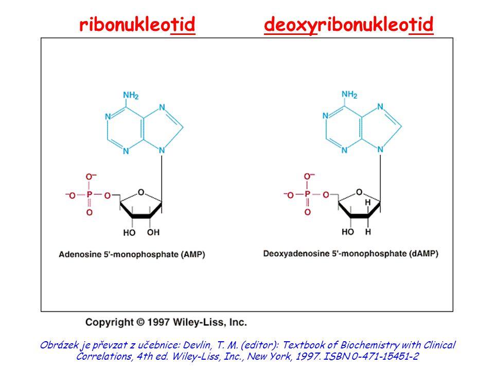 významné meziprodukty:  5´-fosforibozylamin  inozinmonofosfát (IMP) produkty: nukleosidmonofosfáty (AMP, GMP) mezipřeměna purinových nukleotidů:  přes IMP (inosinmonofosfát: báze = hypoxanthin) Syntéza purinových nukleotidů de novo (II)