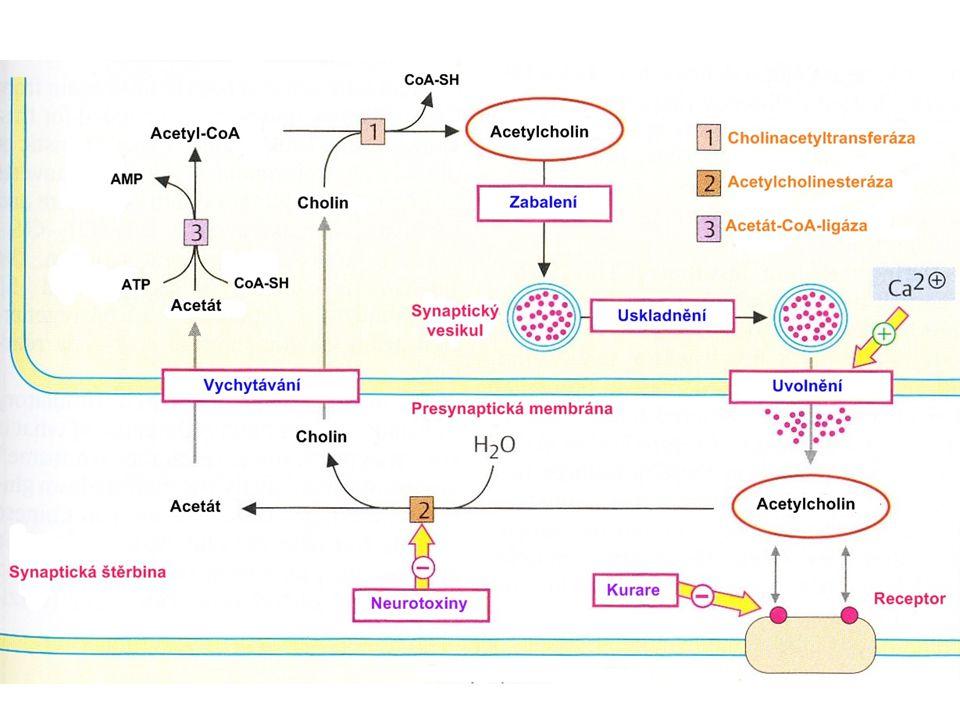 Cholinergní synapse Receptorynikotinovýmuskarinový Mechanismus účinkuiontový kanálG proteiny: G P G I Výskytneurony autonomních ganglií, nervosvalová ploténka, chromafinní buňky dřeně nadledvin mozek, myokard, hladký sval, mozek žlázové buňky Blok receptorutubokurarinatropin