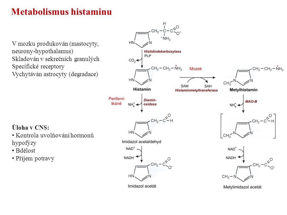 Metabolismus histaminu V mozku produkován(mastocyty, neurony-hypothalamus) Skladován v sekrečních granulých Specifické receptory Vychytáván astrocyty (degradace) Úloha v CNS: Kontrola uvolňování hormonů hypofýzy Bdělost Příjem potravy