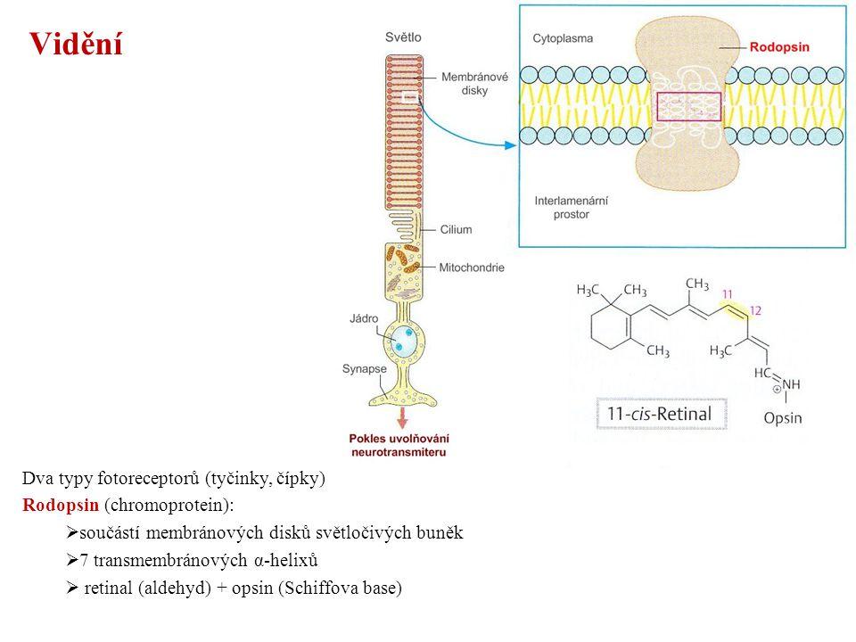 Vidění Dva typy fotoreceptorů (tyčinky, čípky) Rodopsin (chromoprotein):  součástí membránových disků světločivých buněk  7 transmembránových α-helixů  retinal (aldehyd) + opsin (Schiffova base)