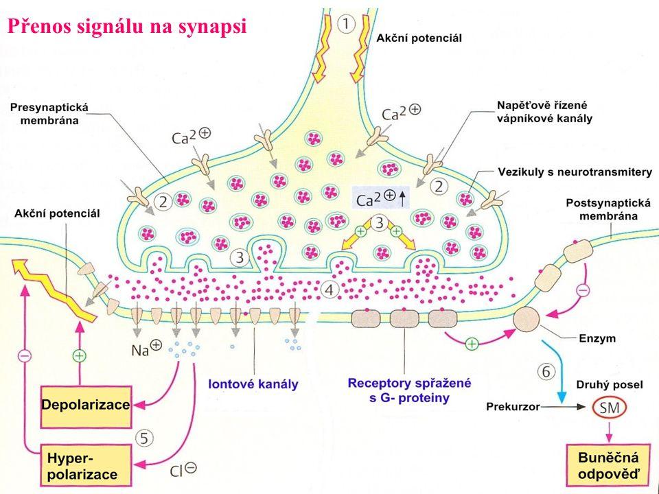 Exocytóza  proces vylučování látek (např.hormonů,neurotransmiterů)  komplex proteinů  fúze vezikulů obsahujících sekreční látky s membránou 1.Klidový stav 2.Influx Ca 2+ a konformační změny proteinů 3.Membránová fúze Botulotoxin: poškozuje komponenty exocytózy v synapsích