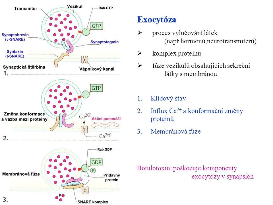 Exocytóza  proces vylučování látek (např.hormonů,neurotransmiterů)  komplex proteinů  fúze vezikulů obsahujících sekreční látky s membránou 1.Klido