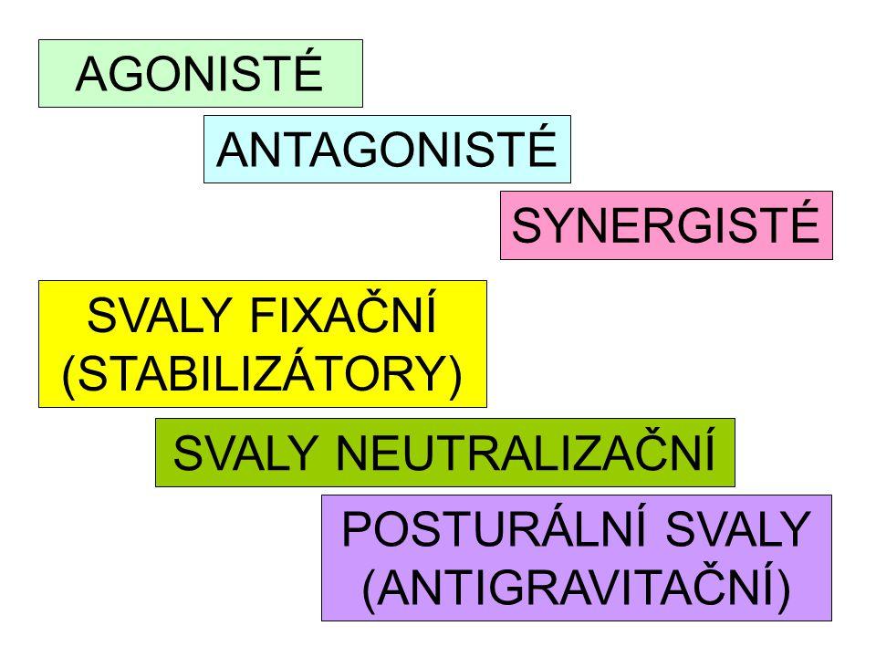 ANTAGONISTÉ AGONISTÉ SYNERGISTÉ SVALY FIXAČNÍ (STABILIZÁTORY) SVALY NEUTRALIZAČNÍ POSTURÁLNÍ SVALY (ANTIGRAVITAČNÍ)