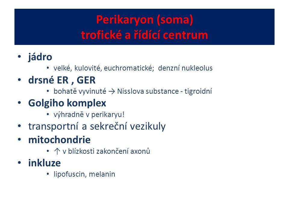Perikaryon (soma) trofické a řídící centrum jádro velké, kulovité, euchromatické; denzní nukleolus drsné ER, GER bohatě vyvinuté → Nisslova substance