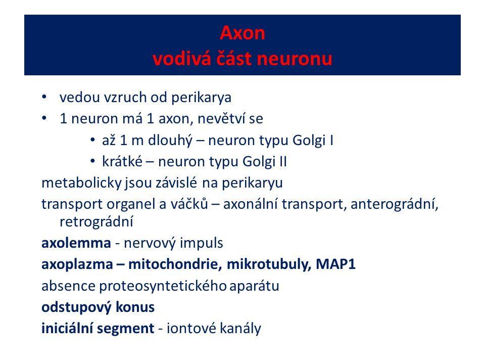Axon vodivá část neuronu vedou vzruch od perikarya 1 neuron má 1 axon, nevětví se až 1 m dlouhý – neuron typu Golgi I krátké – neuron typu Golgi II me