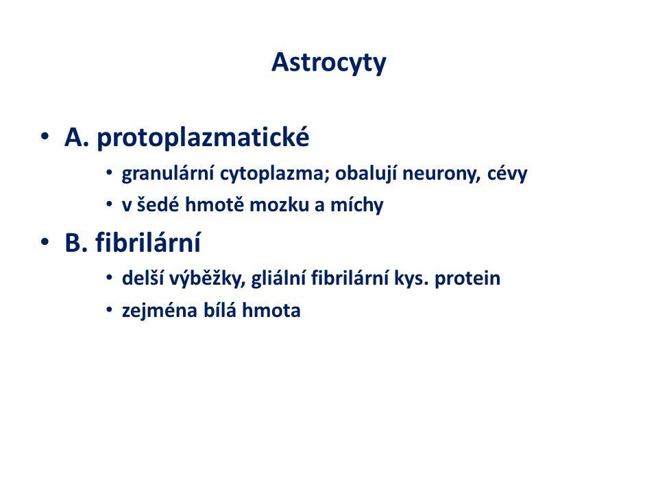 Astrocyty A. protoplazmatické granulární cytoplazma; obalují neurony, cévy v šedé hmotě mozku a míchy B. fibrilární delší výběžky, gliální fibrilární