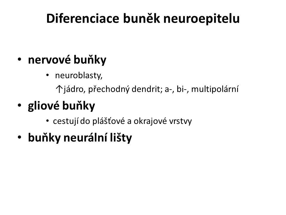 Diferenciace buněk neuroepitelu nervové buňky neuroblasty, ↑jádro, přechodný dendrit; a-, bi-, multipolární gliové buňky cestují do plášťové a okrajov
