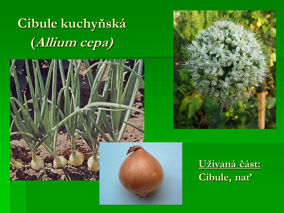 Cibule kuchyňská (Allium cepa) Užívaná část: Cibule, nať