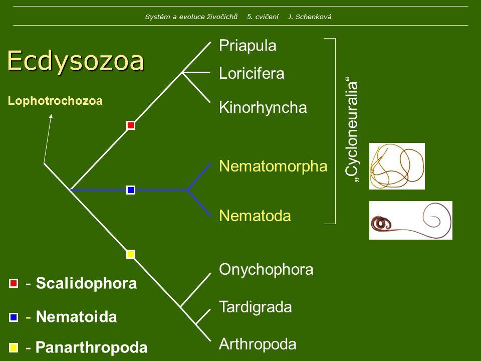 Ecdysozoa Vymezení: 1.složitě stavěná kutikula s několika vrstvami 2.nejméně jednou se svléká 3.koncový ústní otvor 4.absence bičíků 5.absence primární larvy typu trochopfora 6.nemá célom, ale kompaktní mixocel 7.mozek kolem trávicí trubice Systém a evoluce živočichů 5.