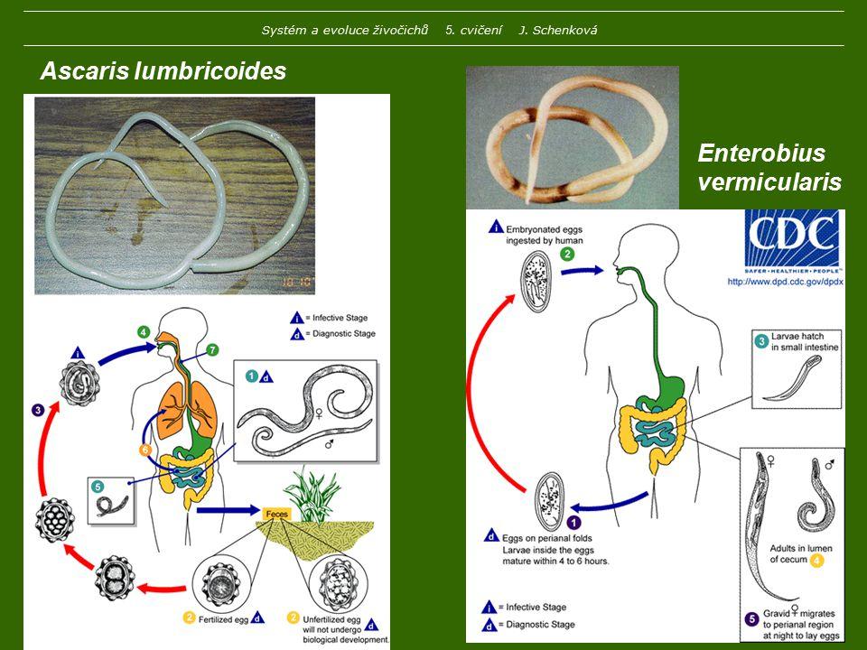 Ascaris lumbricoides Enterobius vermicularis Systém a evoluce živočichů 5. cvičení J. Schenková