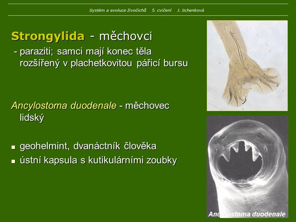 Strongylida - měchovci - paraziti; samci mají konec těla rozšířený v plachetkovitou pářicí bursu - paraziti; samci mají konec těla rozšířený v plachet