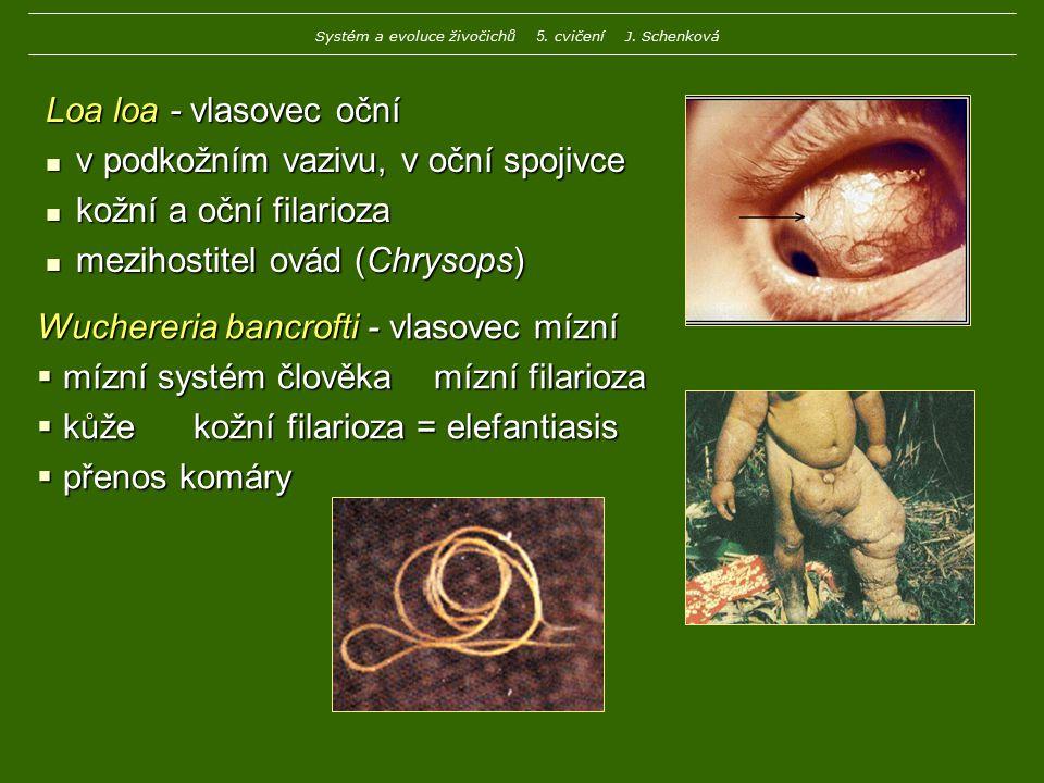 Loa loa - vlasovec oční v podkožním vazivu, v oční spojivce v podkožním vazivu, v oční spojivce kožní a oční filarioza kožní a oční filarioza mezihost