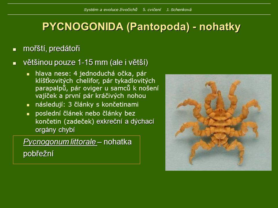 PYCNOGONIDA (Pantopoda) - nohatky mořští, predátoři mořští, predátoři většinou pouze 1-15 mm (ale i větší) většinou pouze 1-15 mm (ale i větší) hlava