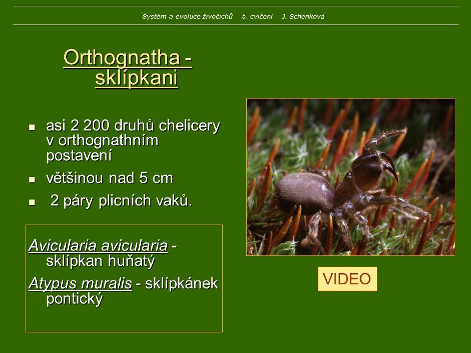 Orthognatha - sklípkani asi 2 200 druhů chelicery v orthognathním postavení asi 2 200 druhů chelicery v orthognathním postavení většinou nad 5 cm větš