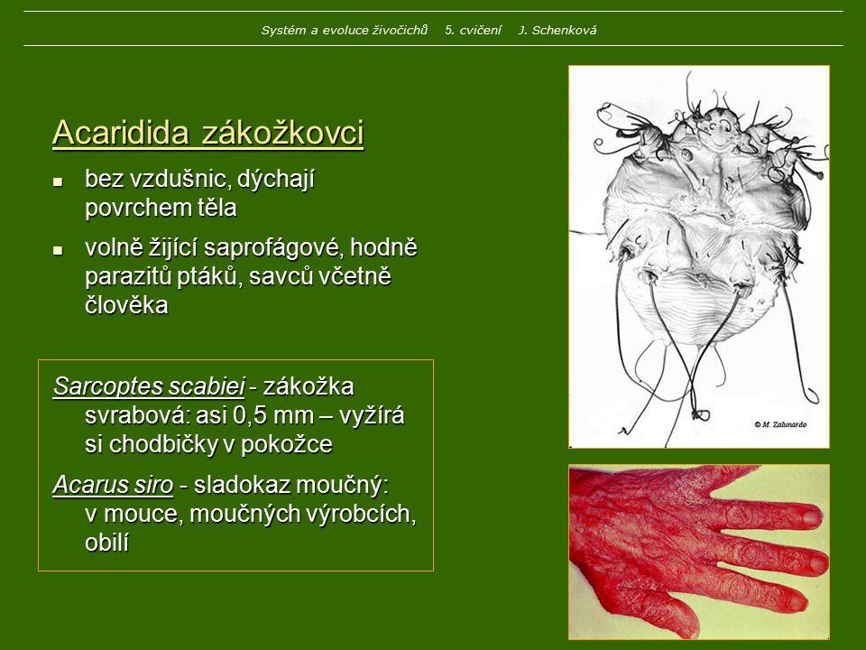 Acaridida zákožkovci bez vzdušnic, dýchají povrchem těla bez vzdušnic, dýchají povrchem těla volně žijící saprofágové, hodně parazitů ptáků, savců vče