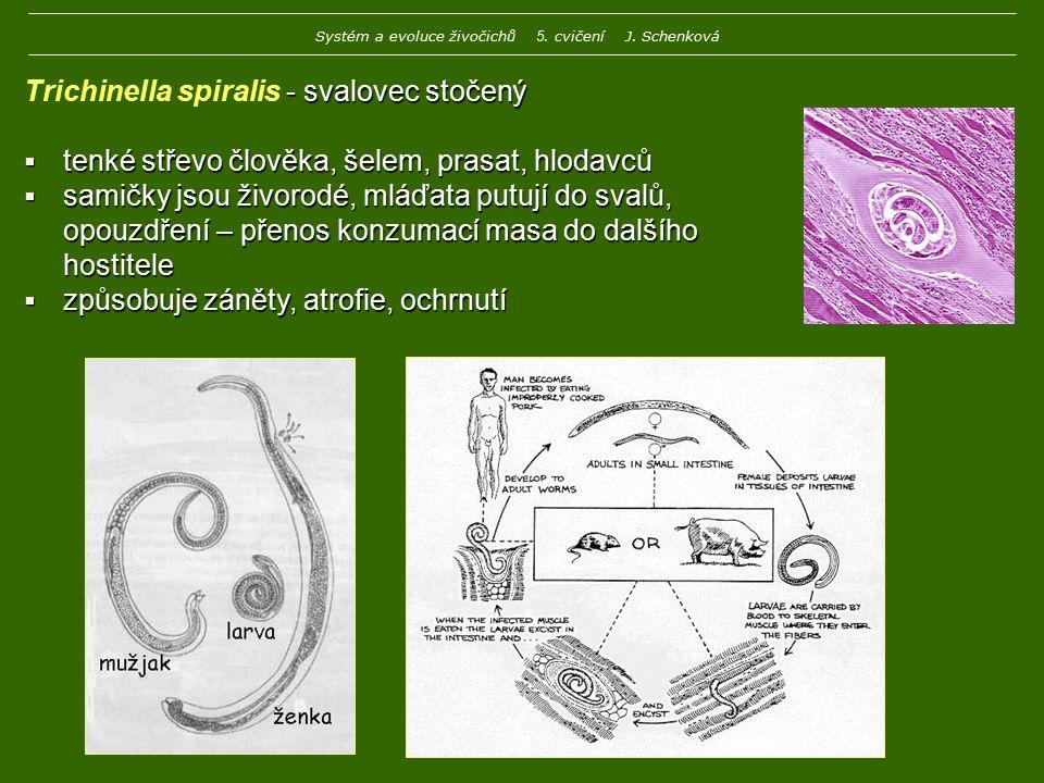 - svalovec stočený Trichinella spiralis - svalovec stočený  tenké střevo člověka, šelem, prasat, hlodavců  samičky jsou živorodé, mláďata putují do