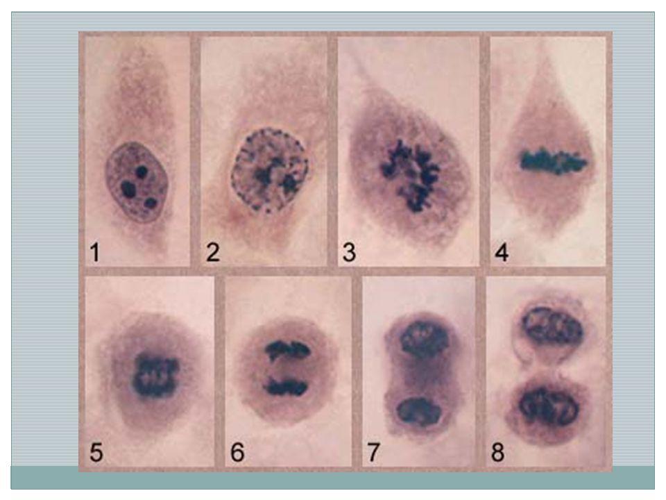 Život buňky rozmnožování buněk - dělením: nejprve se dělí jádro a v něm chromozómy = nositelé dědičné informace, potom celá buňka 2 druhy dělení buněk: A) mateřská buňka se rozdělí na 2 shodné dceřiné buňky - slouží k nepohlavnímu rozmnožování a k růstu mnoho- buněčného organismu B) dělením mateřské buňky vzniknou 4 odlišné buňky s polovičním počtem chromozómů – slouží ke vzniku pohlavních buněk ( ♀ nebo ♂ ) buňky – různý tvar i velikost na buňky působí vlivy z okolního prostředí -pozitivně např.