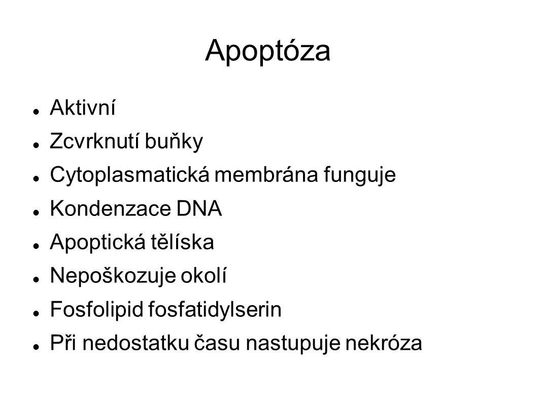 Apoptóza Aktivní Zcvrknutí buňky Cytoplasmatická membrána funguje Kondenzace DNA Apoptická tělíska Nepoškozuje okolí Fosfolipid fosfatidylserin Při nedostatku času nastupuje nekróza