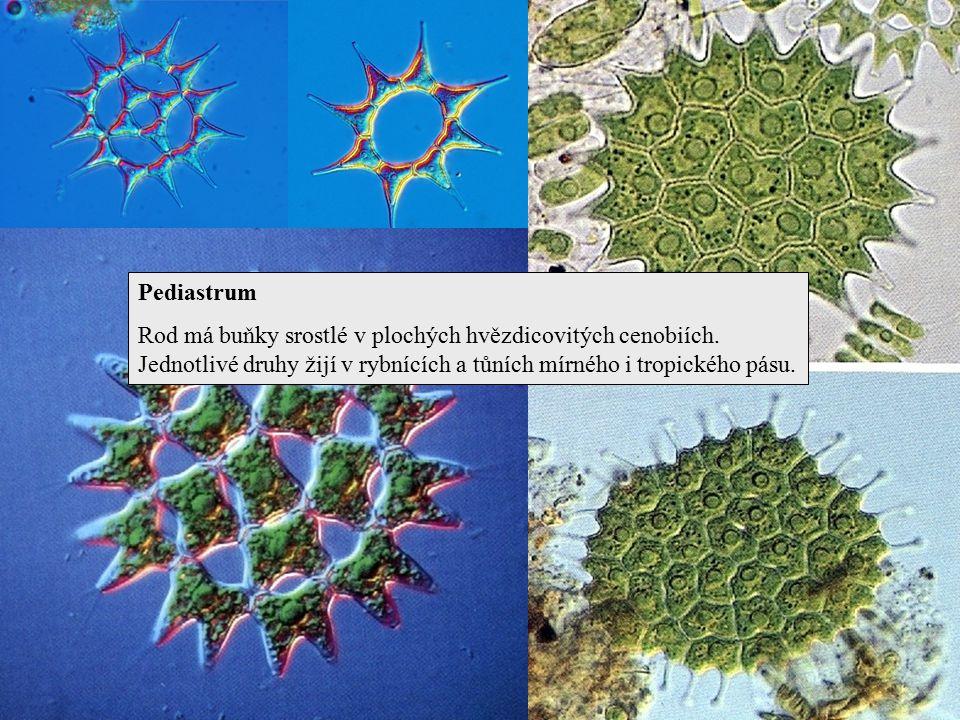Pediastrum Rod má buňky srostlé v plochých hvězdicovitých cenobiích. Jednotlivé druhy žijí v rybnících a tůních mírného i tropického pásu.
