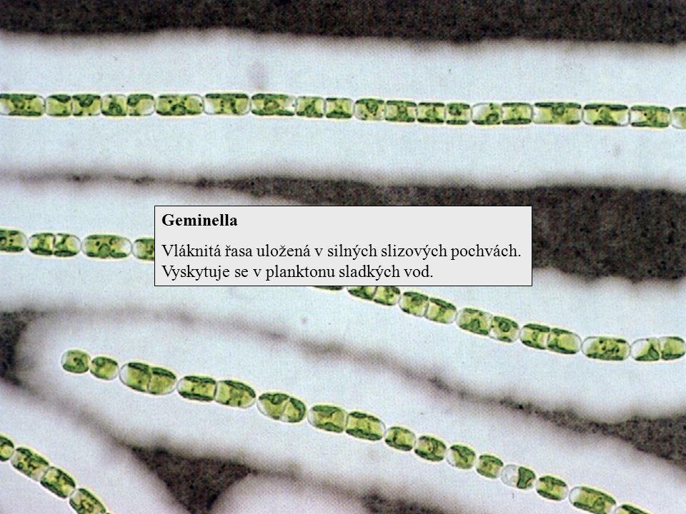 Geminella Vláknitá řasa uložená v silných slizových pochvách. Vyskytuje se v planktonu sladkých vod.