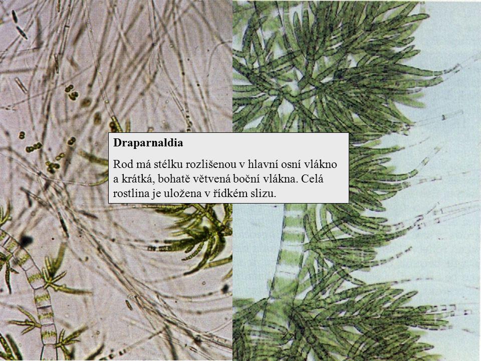 Draparnaldia Rod má stélku rozlišenou v hlavní osní vlákno a krátká, bohatě větvená boční vlákna. Celá rostlina je uložena v řídkém slizu.