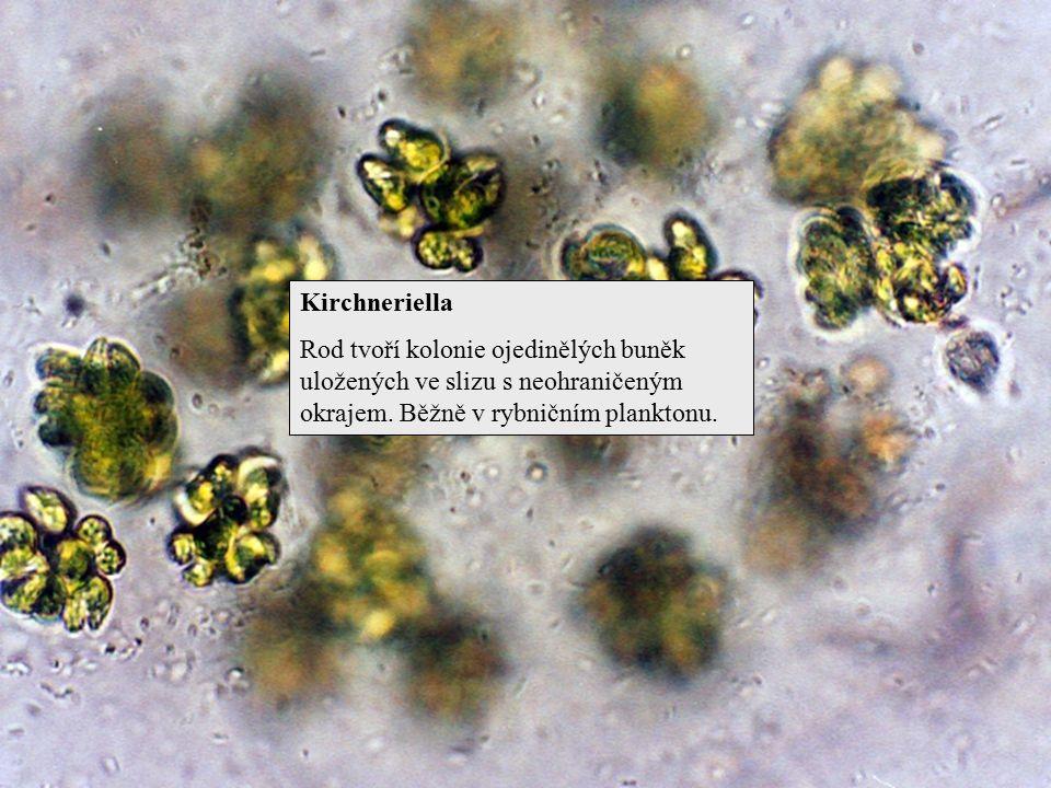 Kirchneriella Rod tvoří kolonie ojedinělých buněk uložených ve slizu s neohraničeným okrajem. Běžně v rybničním planktonu.