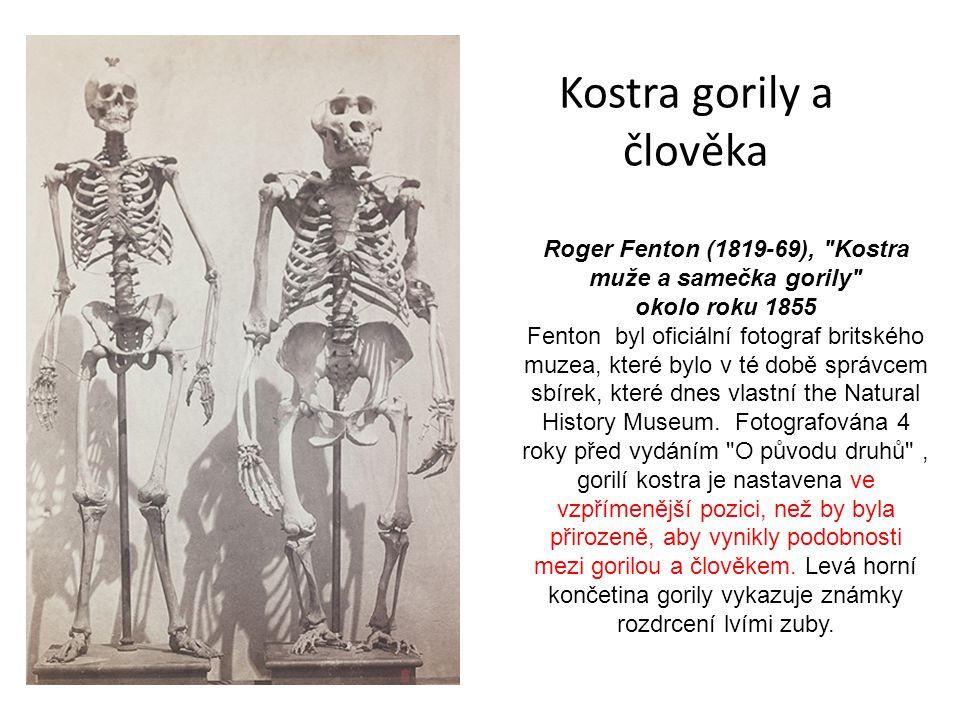 Kostra gorily a člověka Roger Fenton (1819-69), Kostra muže a samečka gorily okolo roku 1855 Fenton byl oficiální fotograf britského muzea, které bylo v té době správcem sbírek, které dnes vlastní the Natural History Museum.