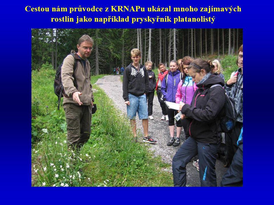 Cestou nám průvodce z KRNAPu ukázal mnoho zajímavých rostlin jako například pryskyřník platanolistý
