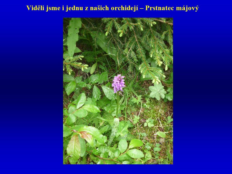 Viděli jsme i jednu z našich orchidejí – Prstnatec májový