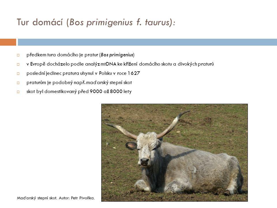  předkem tura domácího je pratur (Bos primigenius)  v Evropě docházelo podle analýz mtDNA ke křížení domácího skotu a divokých praturů  poslední je