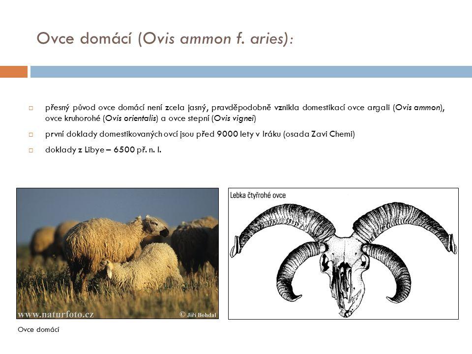  přesný původ ovce domácí není zcela jasný, pravděpodobně vznikla domestikací ovce argali (Ovis ammon), ovce kruhorohé (Ovis orientalis) a ovce stepn