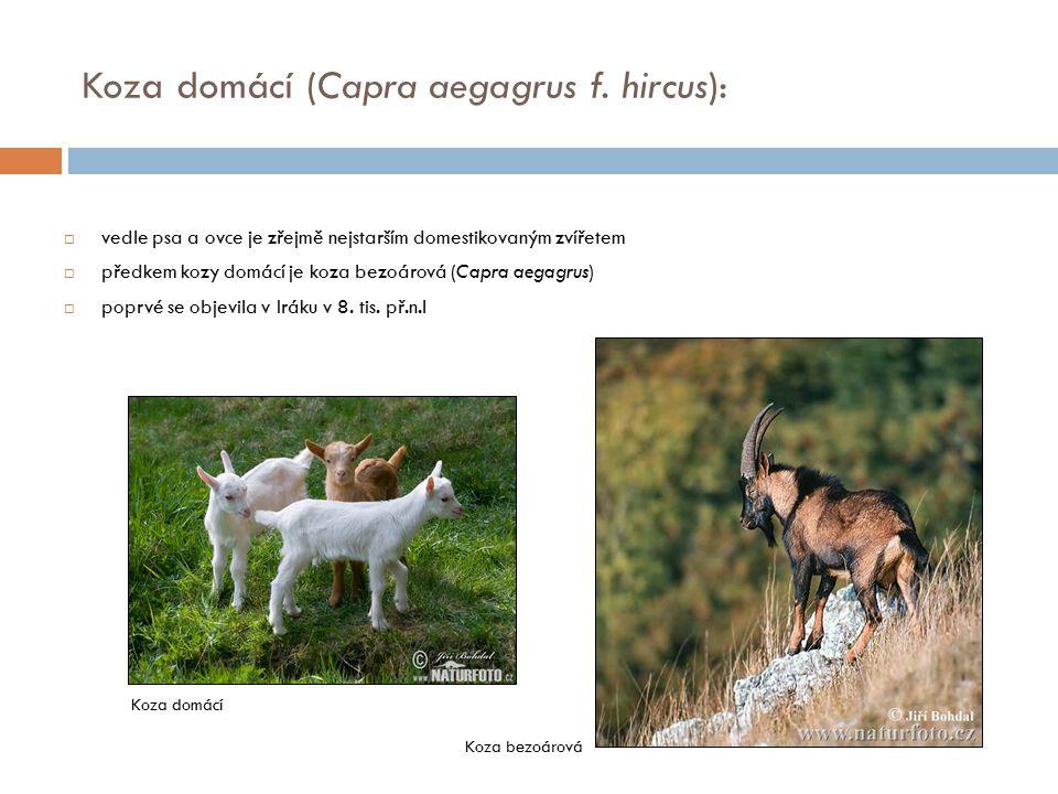  vedle psa a ovce je zřejmě nejstarším domestikovaným zvířetem  předkem kozy domácí je koza bezoárová (Capra aegagrus)  poprvé se objevila v Iráku