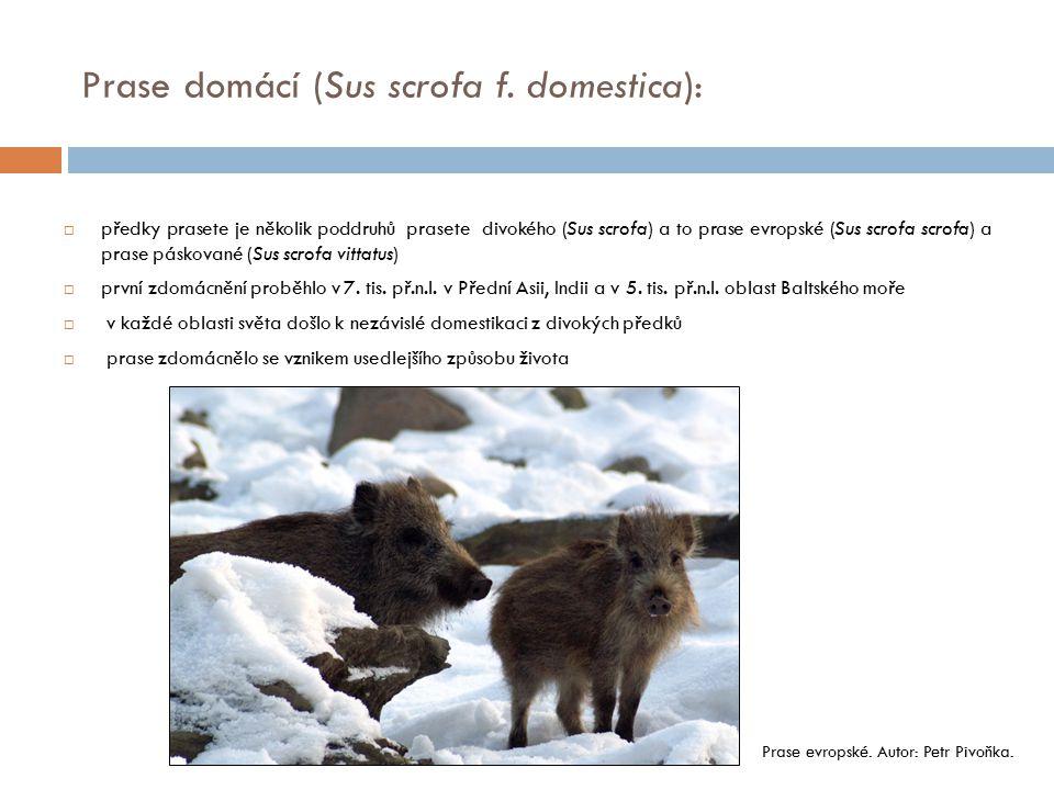  předky prasete je několik poddruhů prasete divokého (Sus scrofa) a to prase evropské (Sus scrofa scrofa) a prase páskované (Sus scrofa vittatus)  p