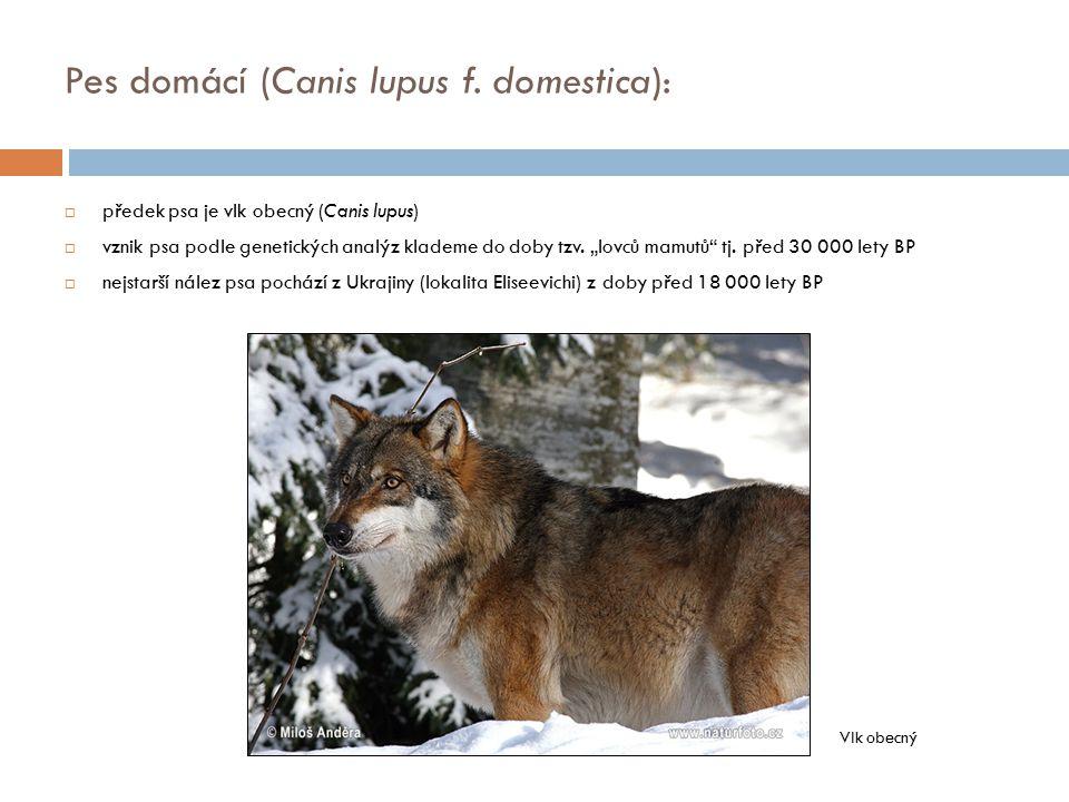 """ předek psa je vlk obecný (Canis lupus)  vznik psa podle genetických analýz klademe do doby tzv. """"lovců mamutů"""" tj. před 30 000 lety BP  nejstarší"""