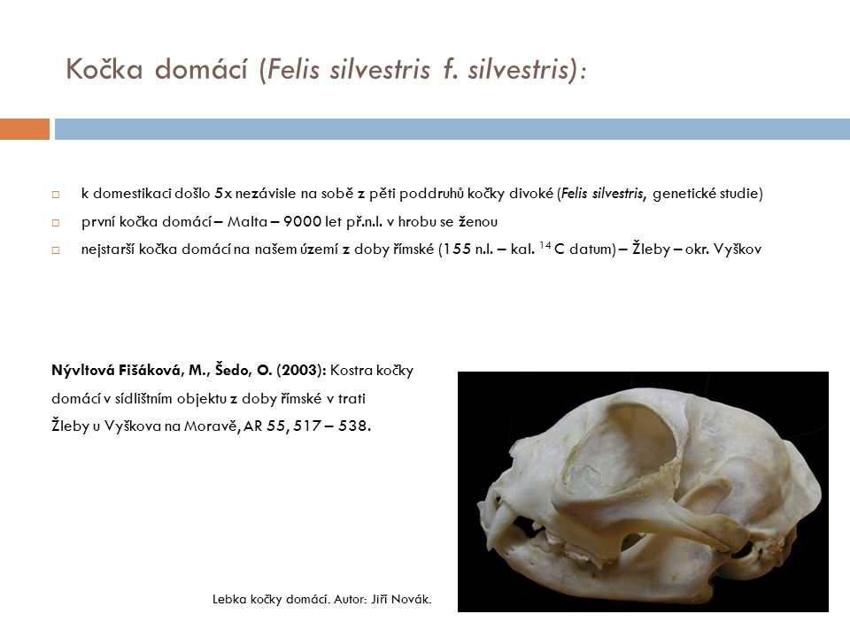  k domestikaci došlo 5x nezávisle na sobě z pěti poddruhů kočky divoké (Felis silvestris, genetické studie)  první kočka domácí – Malta – 9000 let p